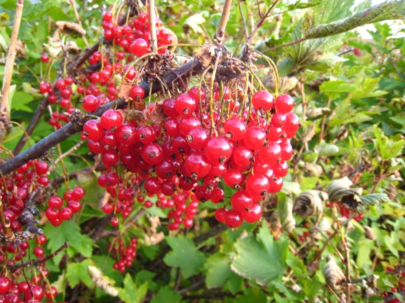 Redcurrant (NO: rips, LAT: Ribes rubrum)