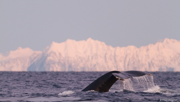 Humpback Whale descends into the pitch blach sea with the Majestic Senja Mountains as a backrdrop in the light ours (no sun light here now)
