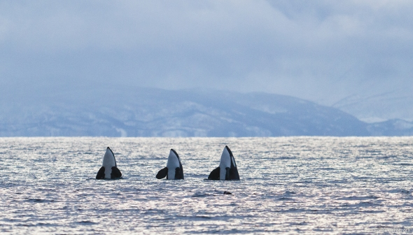 Killer Whales dancing after the herring hunt.