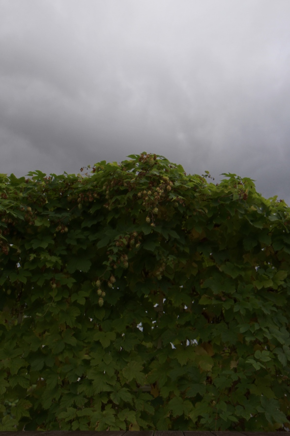 Hops in Narvik on a rainy day