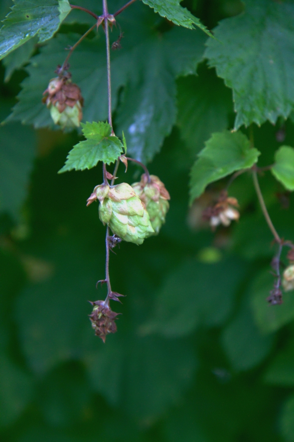 Hops - close up