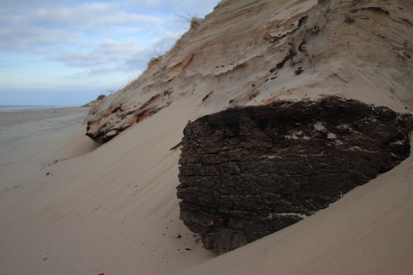 A piece of ancient peat (rich in carbon) revealed as the sand around it erodes